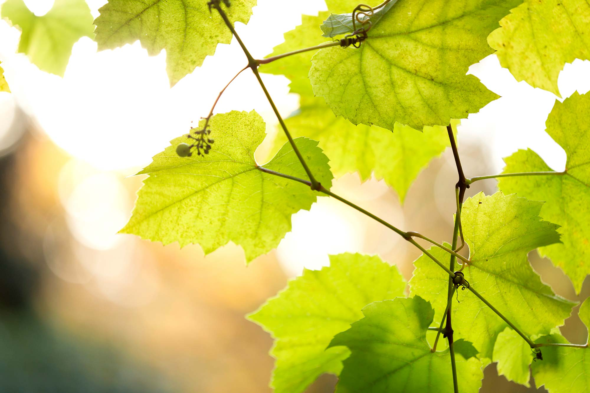 vineyard-leaves-spring